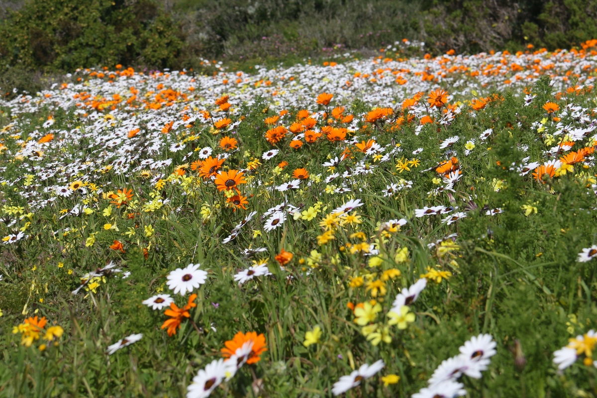 Carpet of orange, white and yellow wildflowers on the West Coast