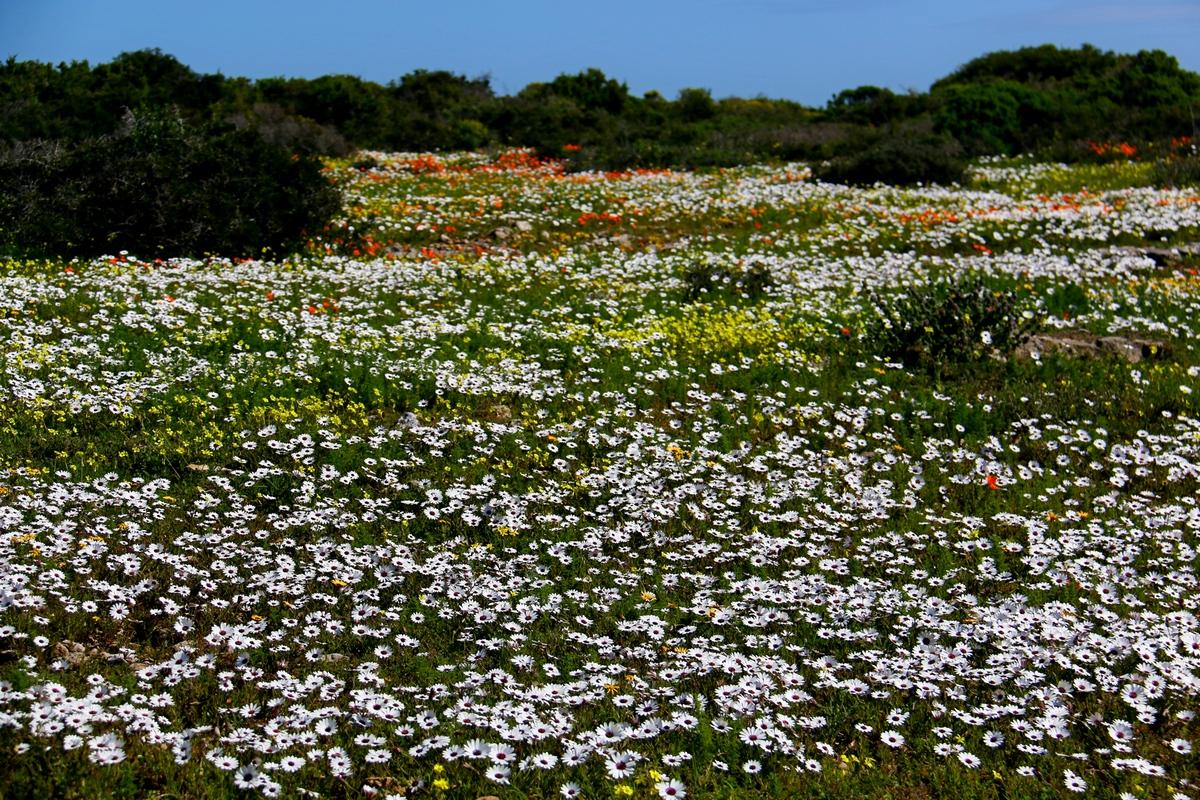 Carpet of white, yellow and orange wilflowers