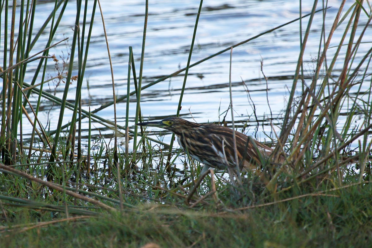 Malagasy Pond Heron hunting in reeds