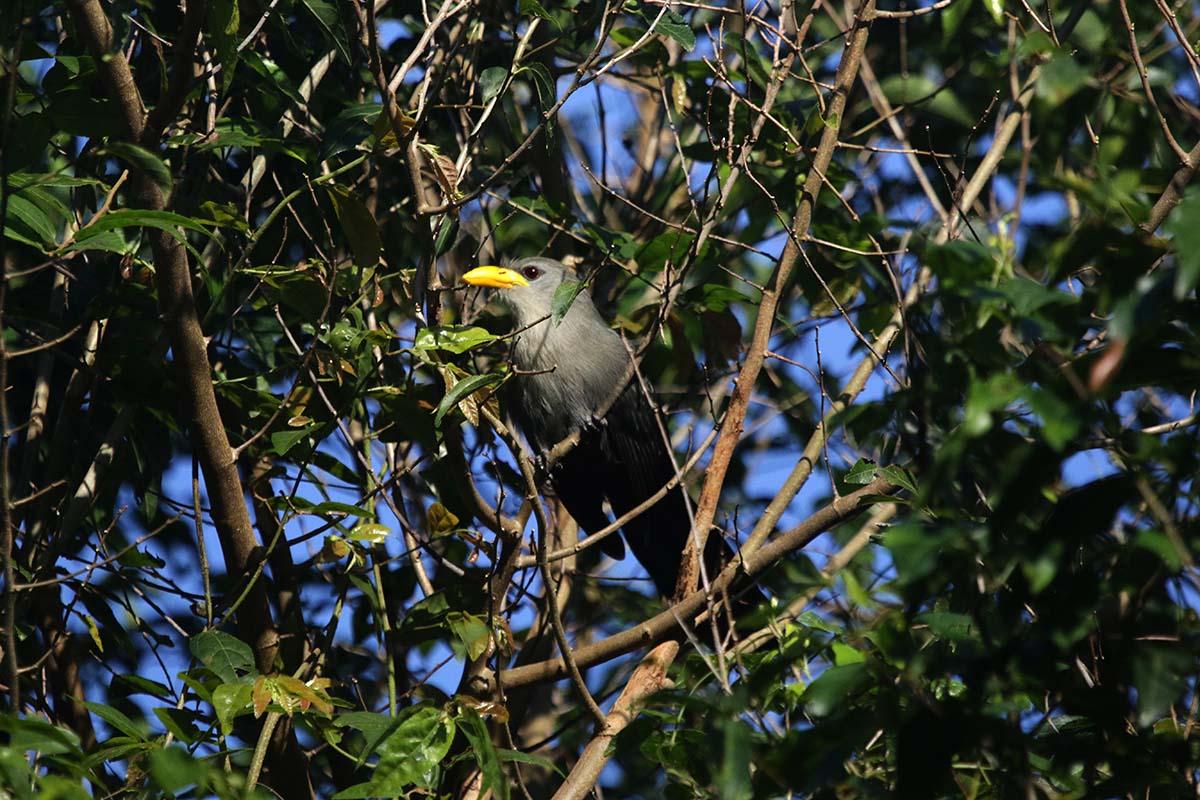 Green Malkoha bird