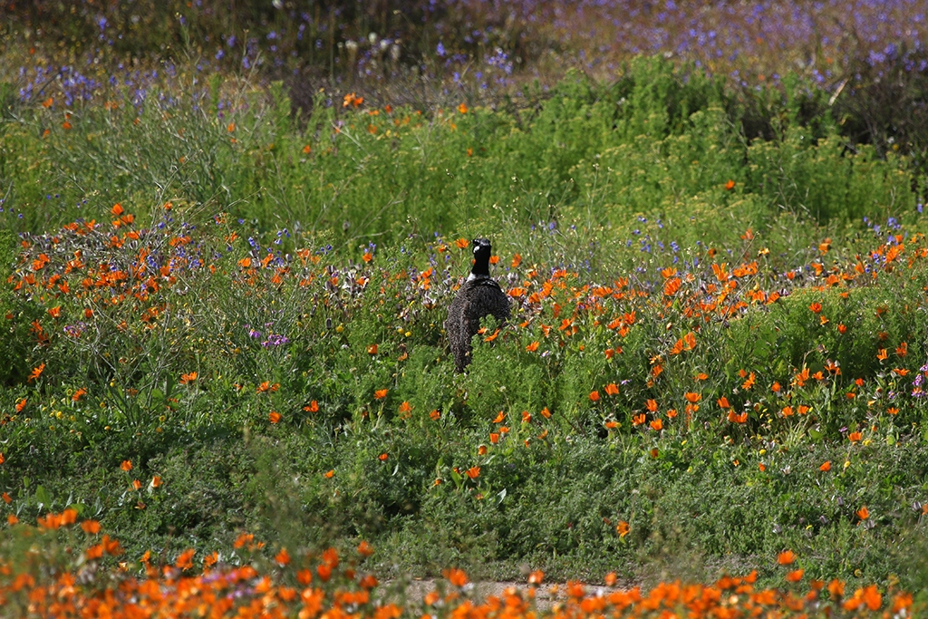 Southern Black Korhaan amoung the wildflowers on the West Coast