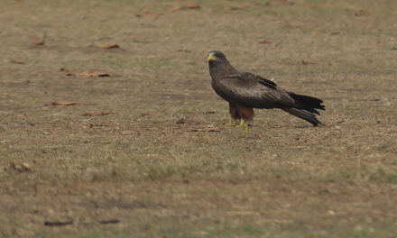 Yellow-Billed Kites and a Competition with my Father