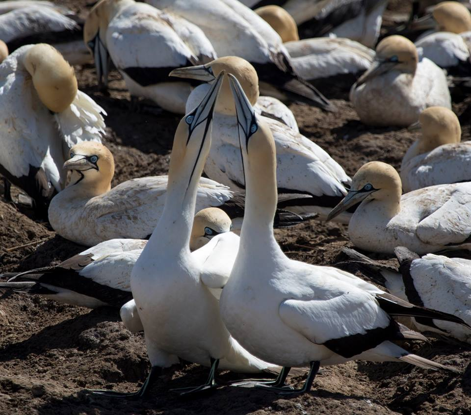 Two Cape Gannets Bill scissoring