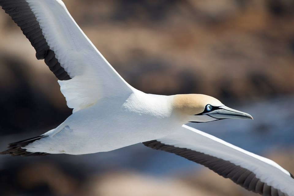 Cape Gannet in flight.