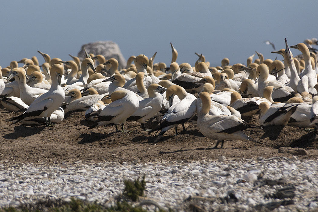 Colony of Cape Gannets