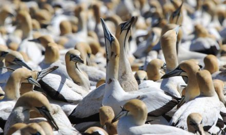 Cape Gannet Colony on Bird Island – A Spectacle not to be Missed