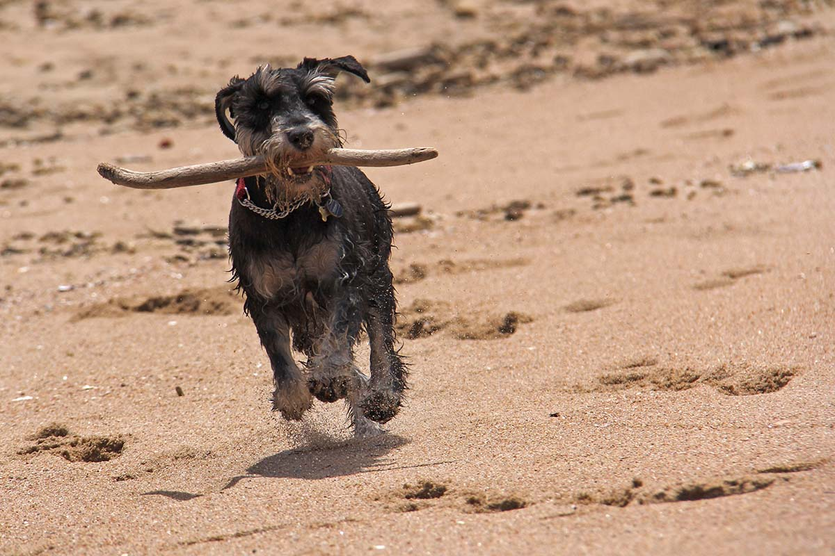 Schnauzer dog running on beach with a stick in his mouth