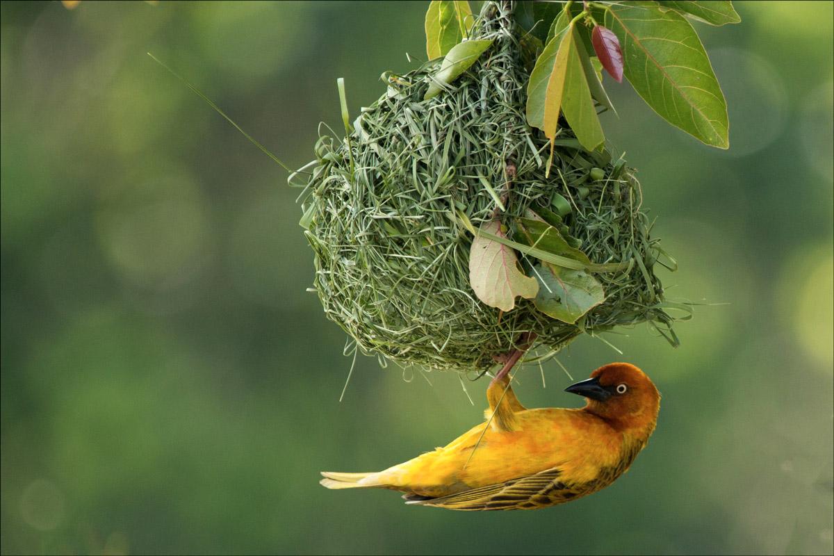 Cape Weaver at his nest