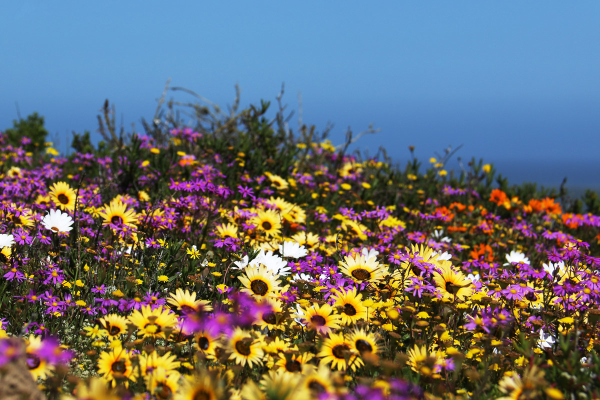 Field of Namaqualand Daisies