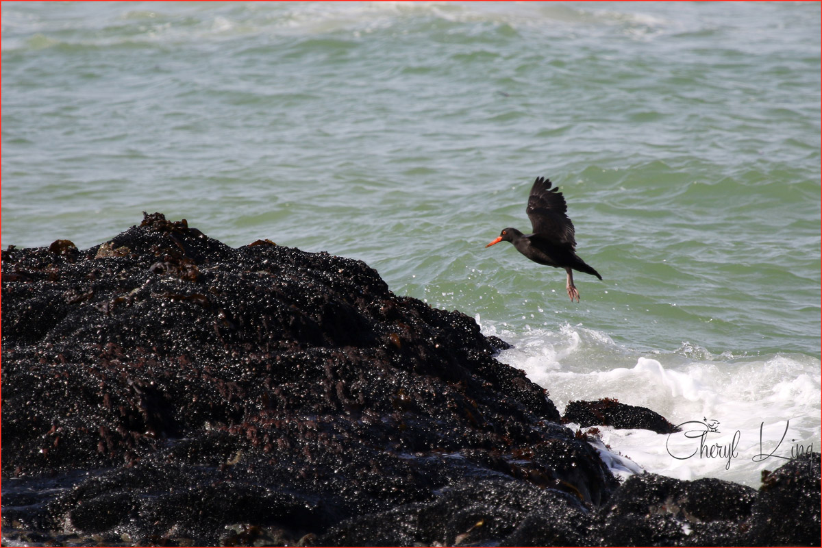 African Black Oystercatcher, West Coast