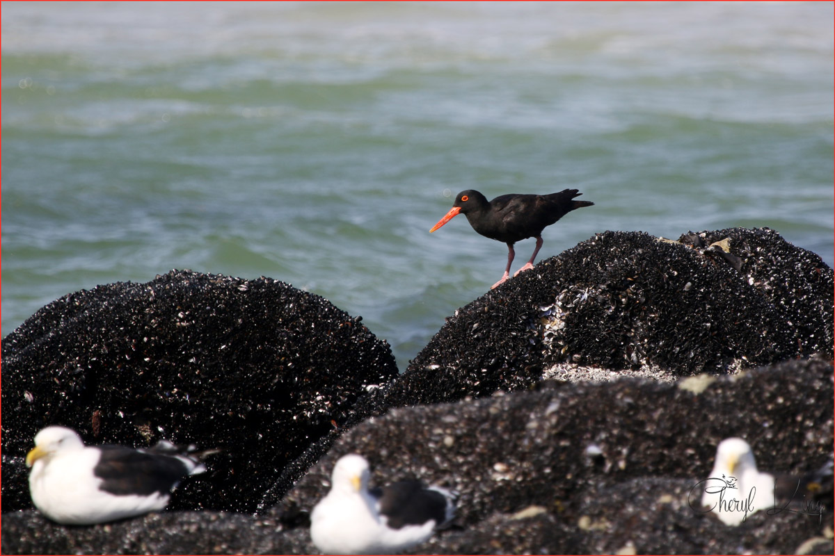 African Black Oystercatcher, West Coast