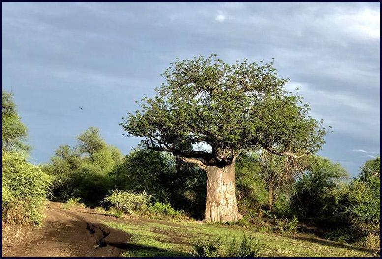 Boabab in Makuleke