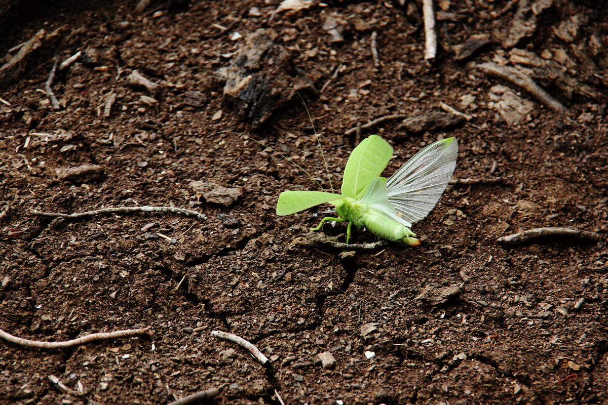Leaf-like insect with wings open