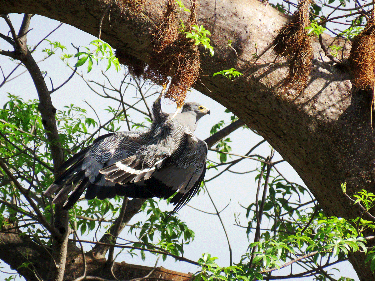 African Harrier Hawk raiding weaver nests