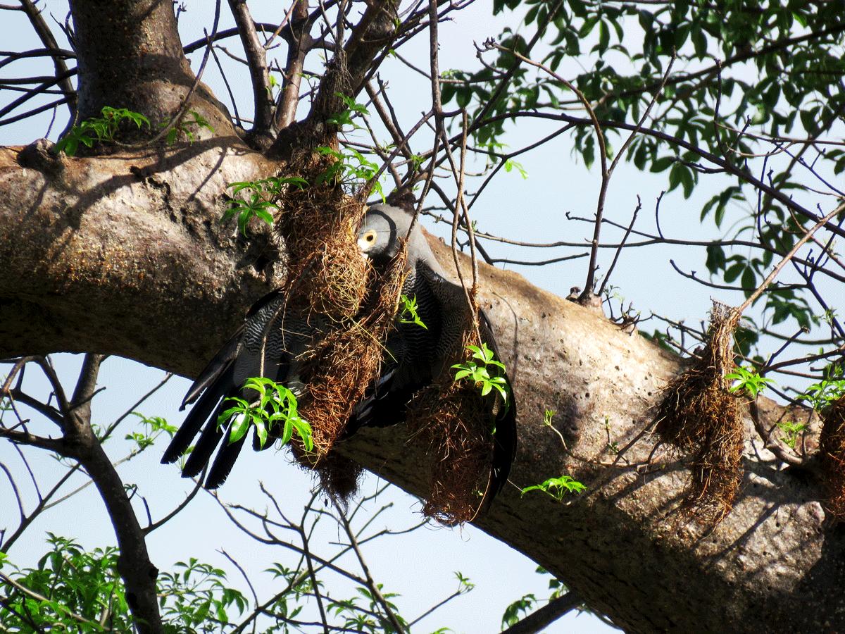African Harrier Hawk raiding weaver nests
