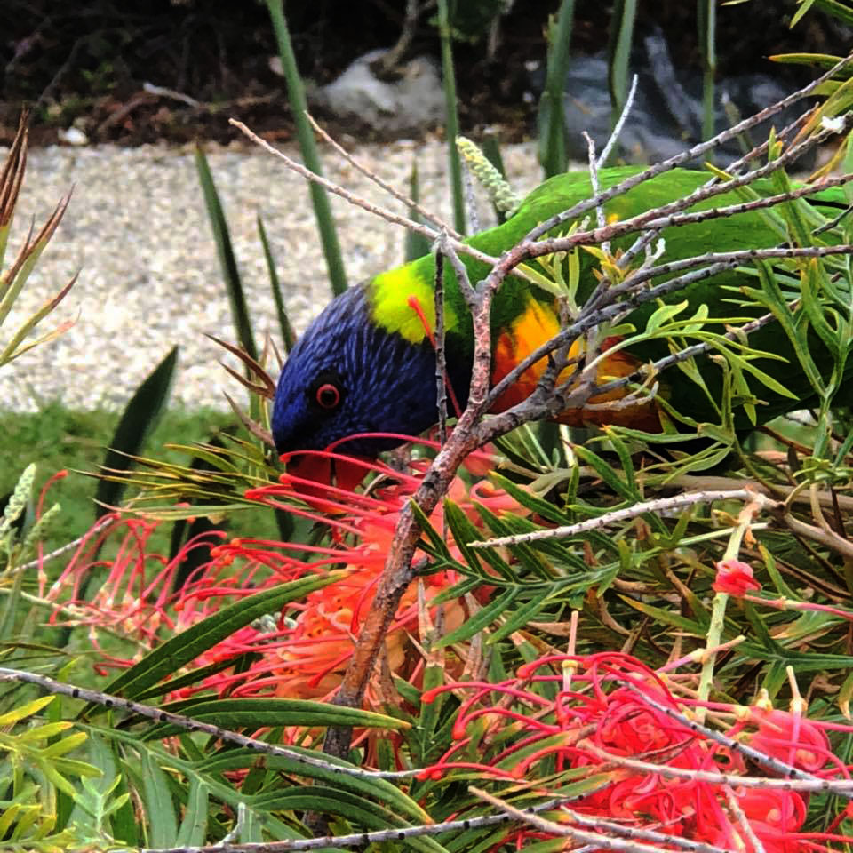 Feeding Rainbow Lorikeet