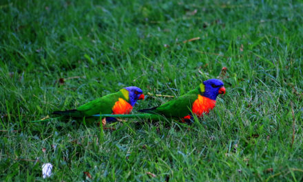 Rainbow Lorikeets – Our Noisy Neighbours