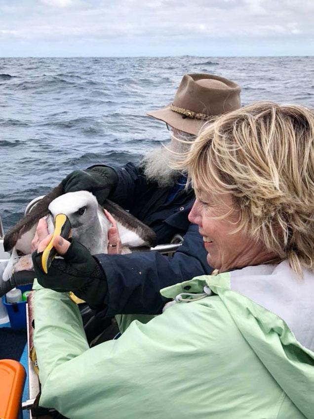 Ringing Bullers Albatross
