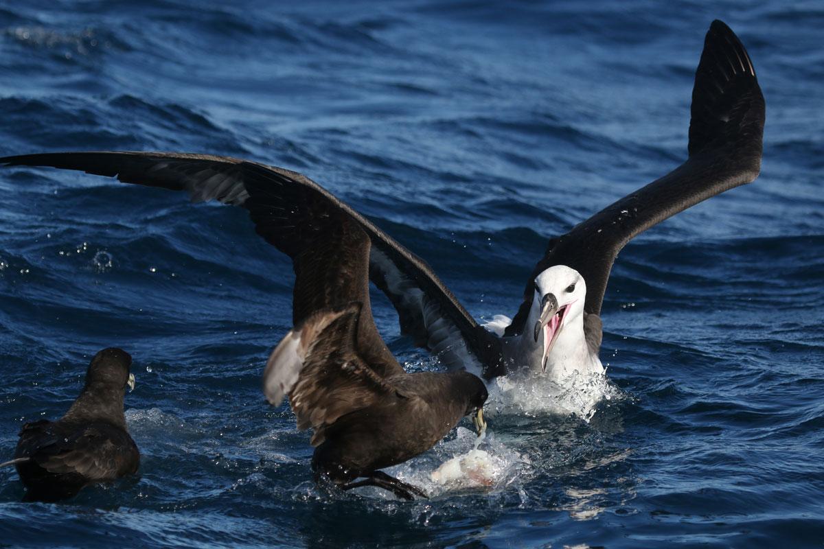 Albatross feeding