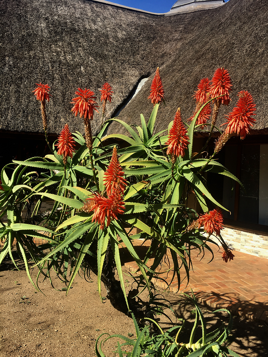 Beautiful speciman of Bitter Aloe in Hluhluwe