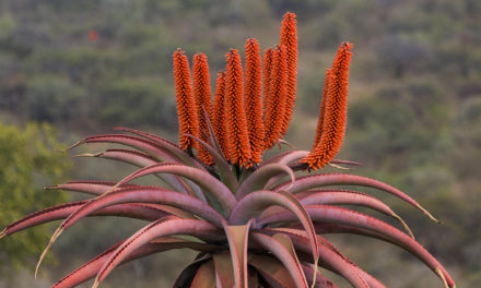 Aloes – Celebrate these Beautiful Plants