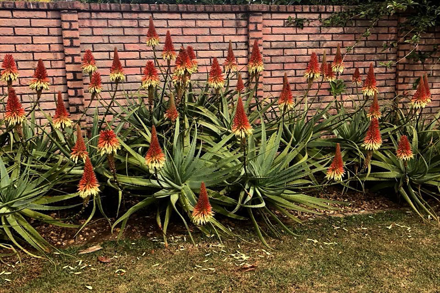 Blooming aloes in garden