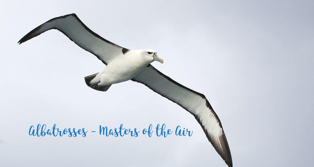 Albatrosses – Masters of the Air