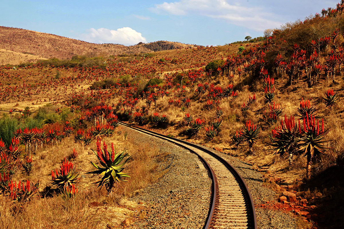 Aloes lining railway line - Creighton Aloe Festival credit to Wendy Freer