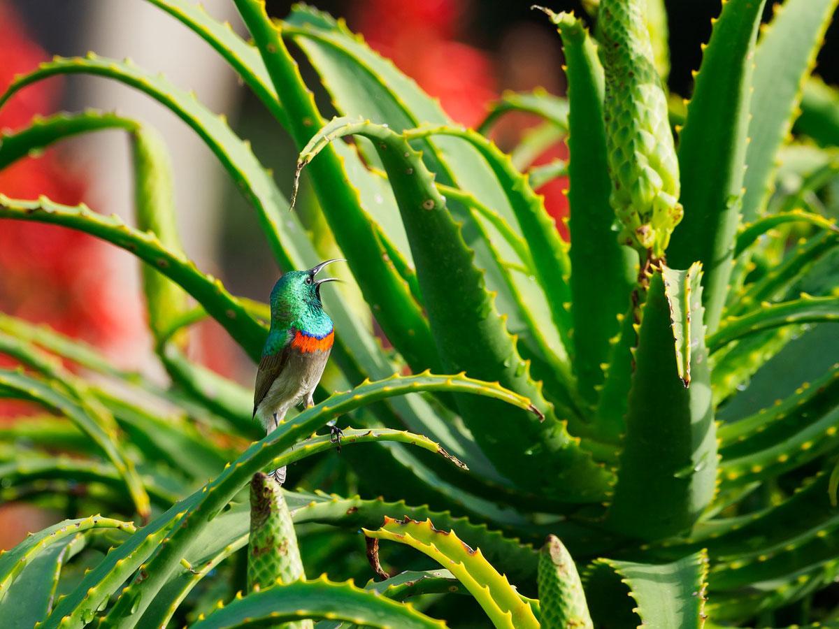 Sunbird on Aloe