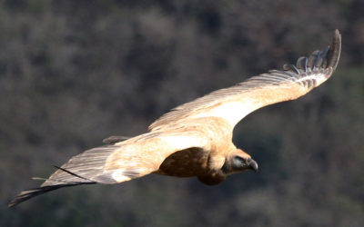 Eye Ball to Eye Ball with Cape Vultures