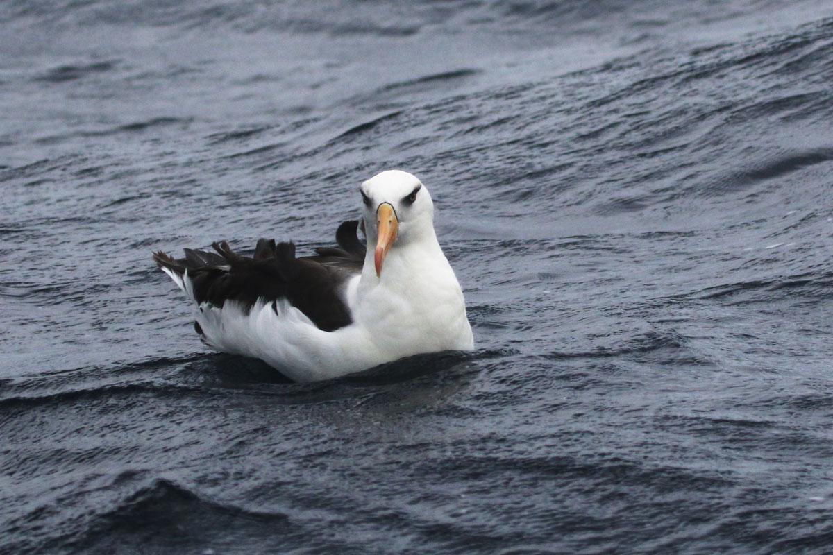 Campbells Albatross
